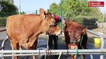 VIDEO. National limousin : les animaux sont arrivés à Châteauroux