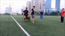 AE team HD-Training malinois dog-chuan bi cho ky thi BH & IPO