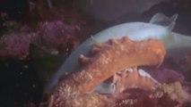 Un calamar géant capture un requin pour le dévorer