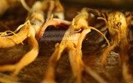 Quy trình sản xuất hồng sâm Hàn Quốc - Các bước tạo thành hồng sâm khô nguyên củ đóng hộp sắt