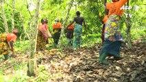 ساحل العاج أكبر منتج عالمي للكاكاو تخوض غمار التجارة المنصفة