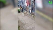 Un chien pense pouvoir rentrer avec son gros baton