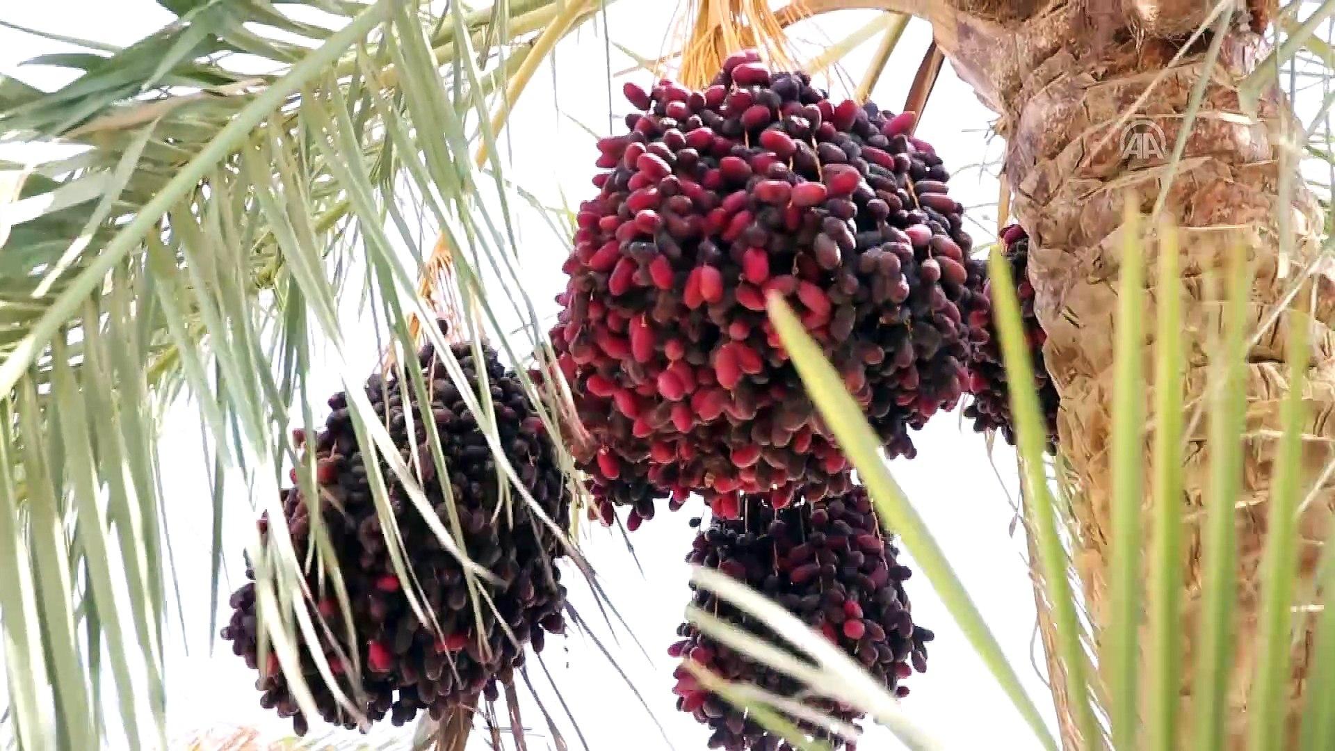 Mısır'ın etrafı hurma bahçeleriyle çevrili köyünde hasat zamanı - FEYYUM -  Dailymotion Video