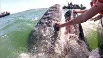 Ce touriste a la chance de pouvoir caresser la bouche d'une baleine