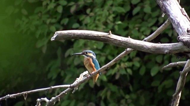 Kingfishers I filmed this morning