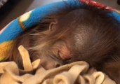 Sleeping Baby Orangutan Doesn't Let Hiccups Interrupt Her Sweet Dreams
