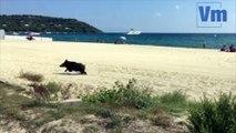 Ramatuelle: les sangliers profitent de  la plage de Pampelonne