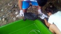 Deniz kaplumbağasına kalp masajı ve suni solunum - MUĞLA