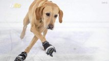 See the Amazing Video of Benny, The Ice-Skating Dog