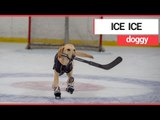 The world's first ice-skating dog | SWNS TV