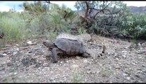 Un serpent à sonnettes sur le dos d'une tortue... Bizarre