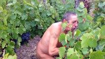 Deuxièmes vendanges naturistes au Crest dans le Puy-de-Dôme