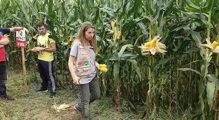 Campo de ensaio de millo en Vimianzo