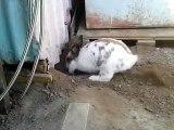 A rabbit digs a hole to free a kitten / Un lapin creuse un trou pour libérer un chaton