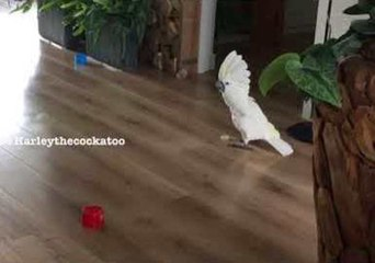 Harley the Cockatoo Practices Soccer Moves