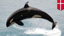 Paus pembunuh terancam polusi PCB - TomoNews