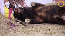 Il récupère les cornes du taureau après une corrida...