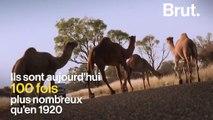 Le bush australien envahi par… des dromadaires