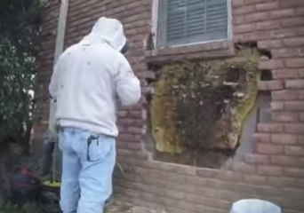 Oh Beehive! – Bee Whisperer Removes Enormous Hive From Tennessee Home
