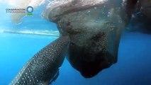 Ce requin-baleine vient voler des poissons aux pecheurs, directement dans leur filet