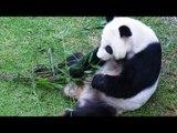 Muere la panda más longeva del Zoológico de Chapultepec