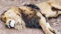 Gujarat Gir Forest में आखिर क्यों हो रही है Lions की Death, High court ने लगाई फटकार ।वनइंडिया हिंदी