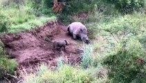 Ce bébé rhinocéros veut réveiller sa maman morte... Tellement triste