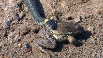 Ce serpent a les yeux plus gros que le ventre