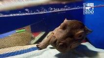 Latest Update on Fiona the Hippo  at Cincinnati Zoo & Botanical Garden