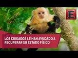 Mono capuchino permanecerá como inquilino en el zoológico de Chapultepec