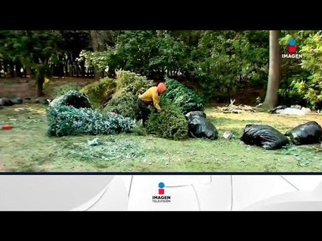 Dónde terminan los árboles de Navidad que todos tiran en enero y febrero | Noticias con Zea