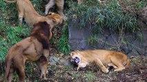 Plusieurs lions s'en prennent à une lionne qui se défend férocement