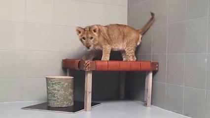 Außergewöhnlicher Fund: Löwenbaby in den Niederlanden auf Feld entdeckt