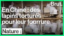 Cash Investigation : des lapins torturés pour leur fourrure en Chine