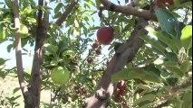 Aynı Ağaçtan Hem Yeşil Hem Kırmızı Elma Yetiştirdi