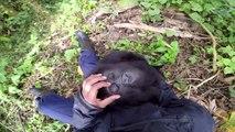 On dirait bien que ce bébé gorille est chatouilleux!