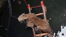 Un jaguar se retrouve coincé dans un puits... Joli sauvetage
