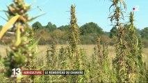 Agriculture : le chanvre fait son retour en France