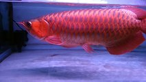 ARWANA SUPER RED - what a fish!!