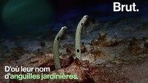 Elles ont tout de l'apparence d'une plante mais ce sont en réalité… des anguilles
