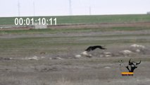 Greyhound VS Hare racing 4:37 minutes, the hare wins