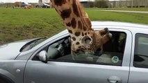 Une girafe se coince la tête dans sa voiture... Et crac