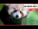 Zookeepers thrilled after rare baby red panda born | SWNS TV