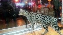 kucing Anggora , angora cat (kucing terpopuler di indonesia