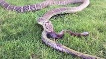 Un serpent gobe un autre serpent en entier