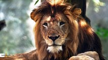 Lion At Indianapolis Zoo Killed By Mother Of His Three Cubs During Fight