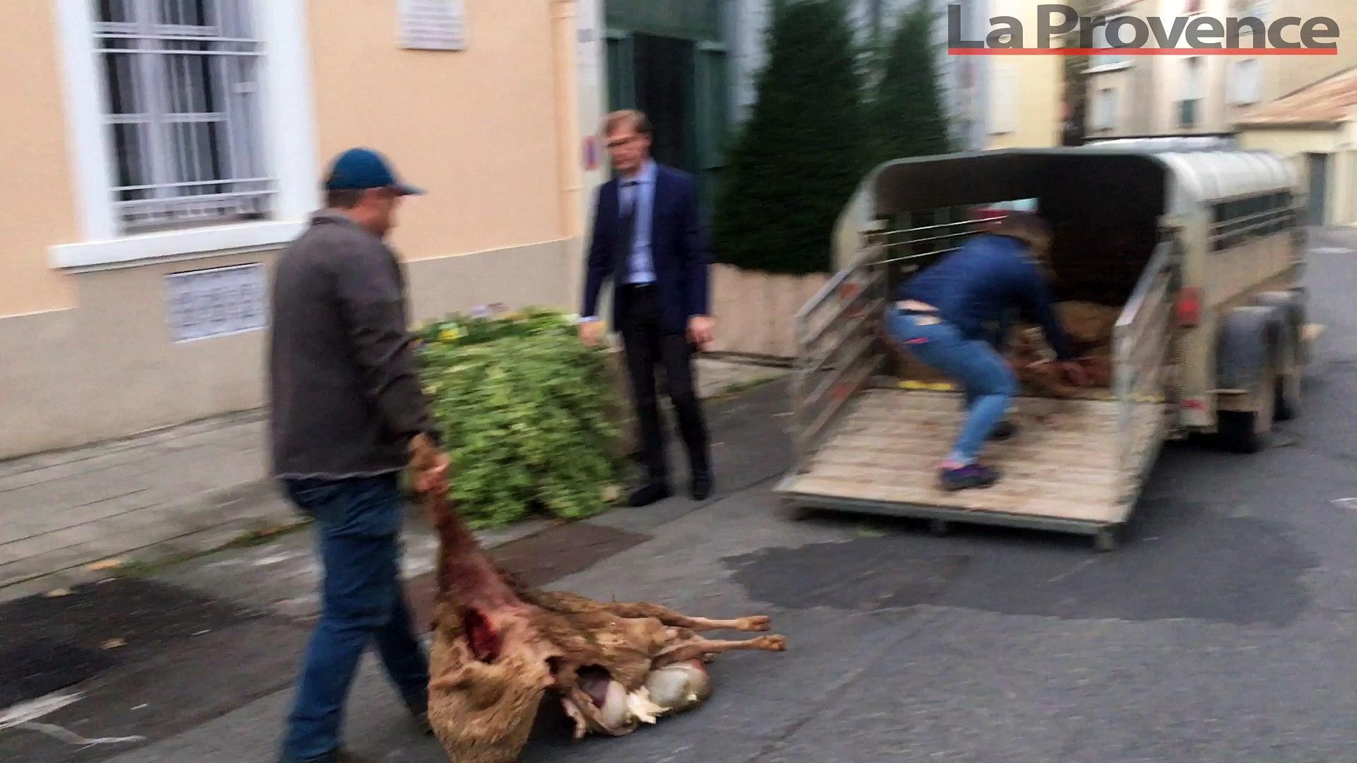 Le désespoir des éleveurs alpins après une nouvelle attaque de loup