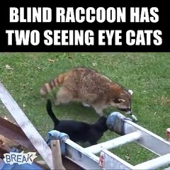 When you're a blind raccoon, you need some friends to guide you...