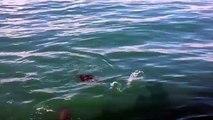 Un phoque a été à deux doigts de perdre la vie après l'attaque d'un grand requin blanc !
