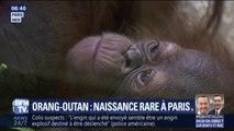 Voici Java, le bébé orang-outan né il y a une semaine au Jardin des plantes à Paris